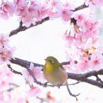 お花見は英語で何て言う?無礼講などお花見の日本の風習を外国人に英語で説明しよう
